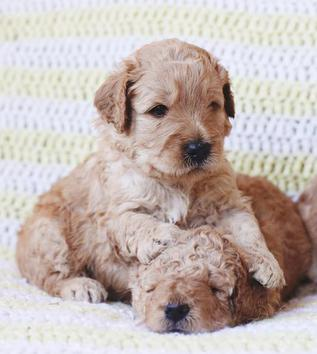 Faithful Doodles Labradoodle Goldendoodle Puppies | Southern